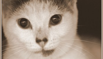 Feline Renal Transplantation: The Ethics