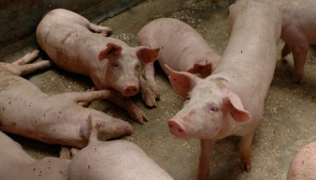 Developing A Welfare Index For Pigs At Slaughter