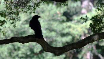 Ravens Have A Sense Of Fairness And Memory