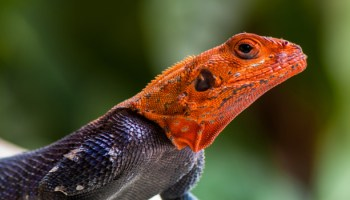 Lizards As Companion Animals: The Challenges