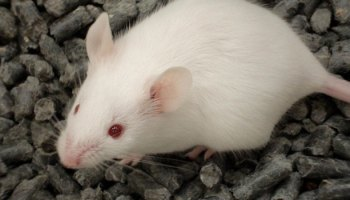 Assessment Of The Severity of Scientific Procedures on Mice