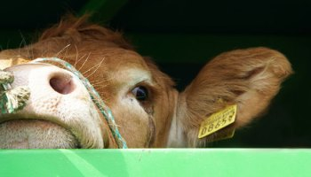 Animal Welfare And Cow Transportation