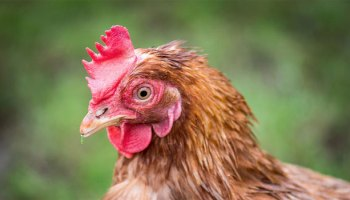 Thinking Like A Chicken: Domestic Chicken Ethology