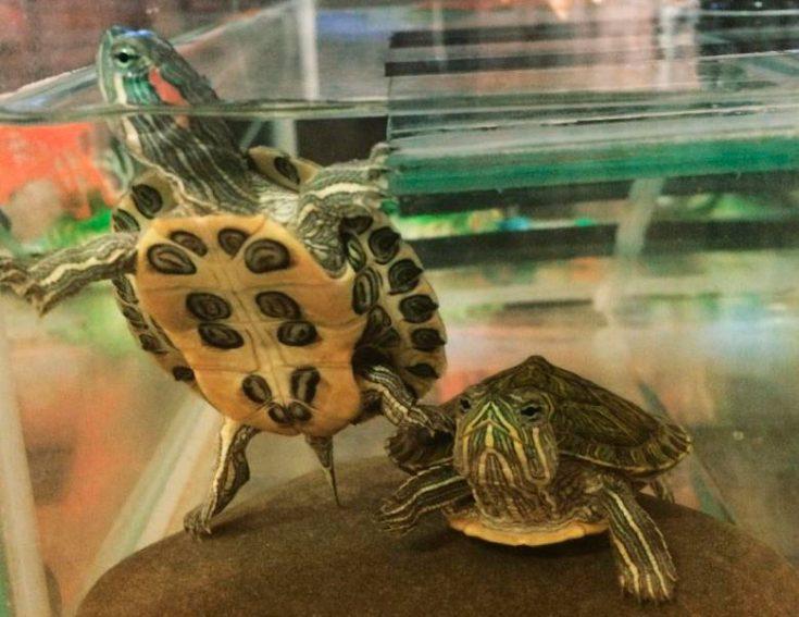 Pierdere în Greutate Broască țestoasă greacă - Ajutor
