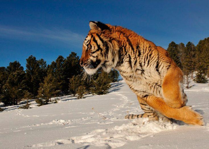 Allereerst is het mogelijk om het mannetje te onderscheiden van het wijfje van grootte en op gewichtsbasis. Als mannen niet minder dan 200 kilogram weken, dan zijn vrouwtjes twee keer. In 2005 voerden wetenschappers van vele landen van de wereld een studie uit en bewezen dat moderne Amur-tijgers merkbaar inferieur zijn door hun voorouders.