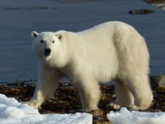 Adult polar bear waiting for the sea ice to form, Churchill, Canada