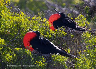 Male frigatebirds with mating display