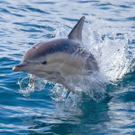 Whoever came up with the name 'common dolphin' probably had never seen one - cos they're pretty spectacular. Of Sydney, somewhere...