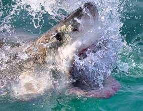 Great White Shark surfacing near Gansbaai, South Africa