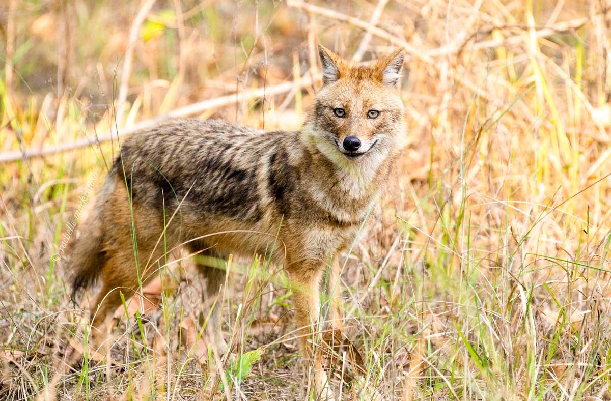 Indian jackal kanha national park