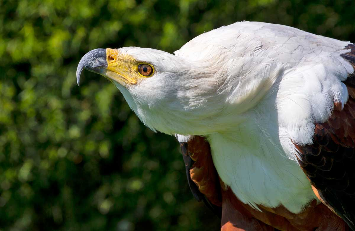 african fish eagle bird south africa