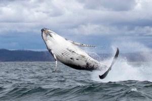baby humpback whale eden breach australia writing