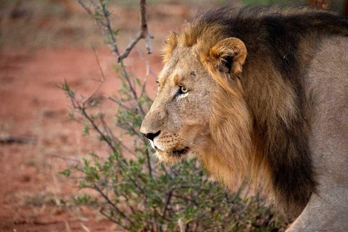 chimbro lion madikwe south africa