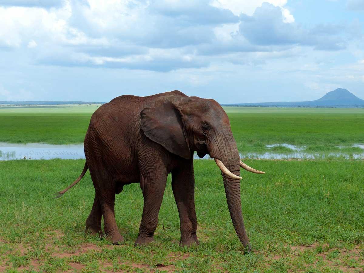 elephant tarangire tanzania silale