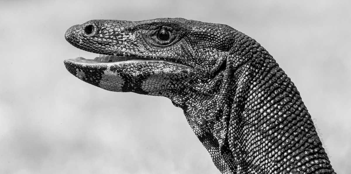 goanna royal national park sydney black and white