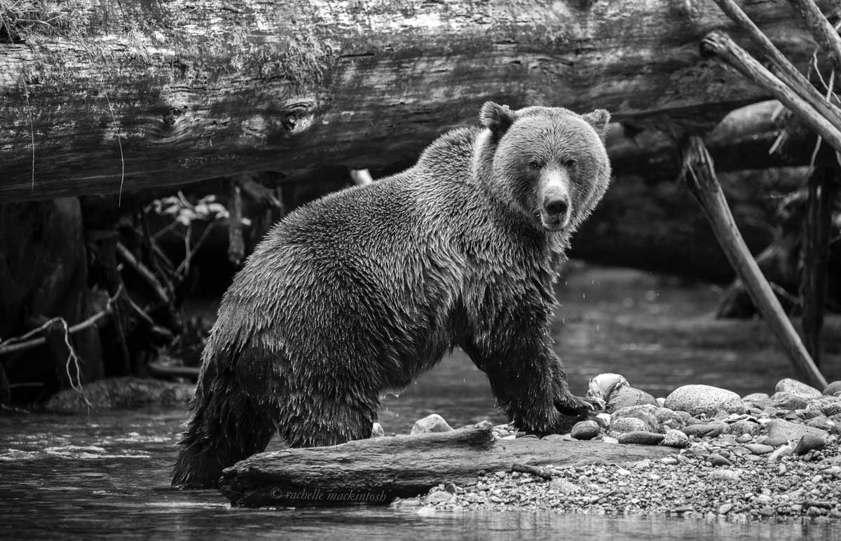 grizzly bear pacific northwest black and white