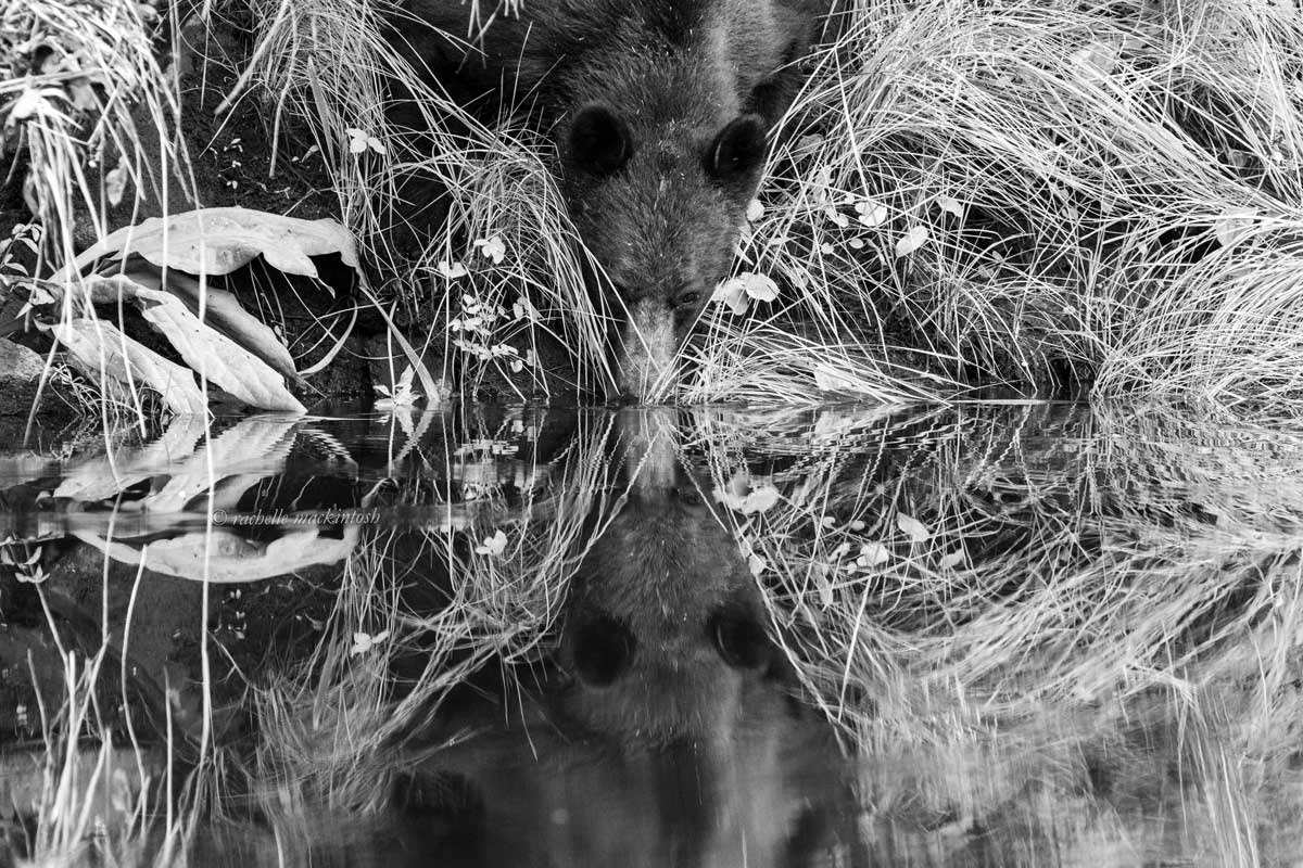 grizzly southern great bear rainforest river black and white