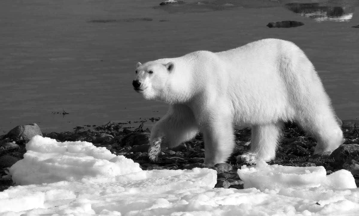 hudson bay polar bear canada arctic monochrome