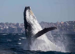 humpback whale breach bondi australia