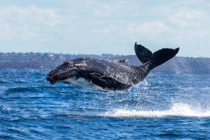 humpback whale calf sydney harbour flying