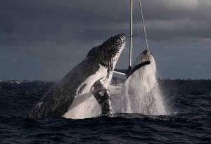 humpback whale double breach sydney