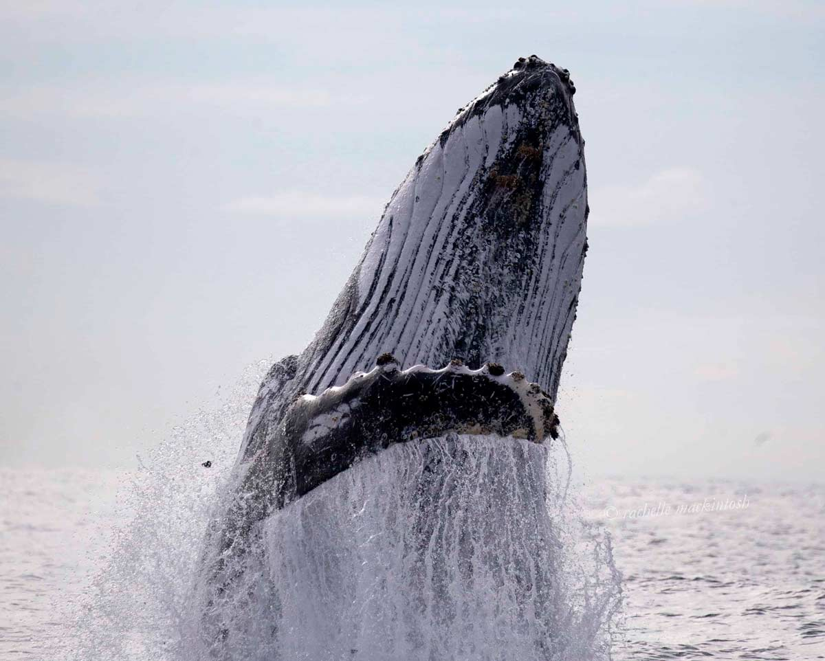 humpback whale sydney breaching