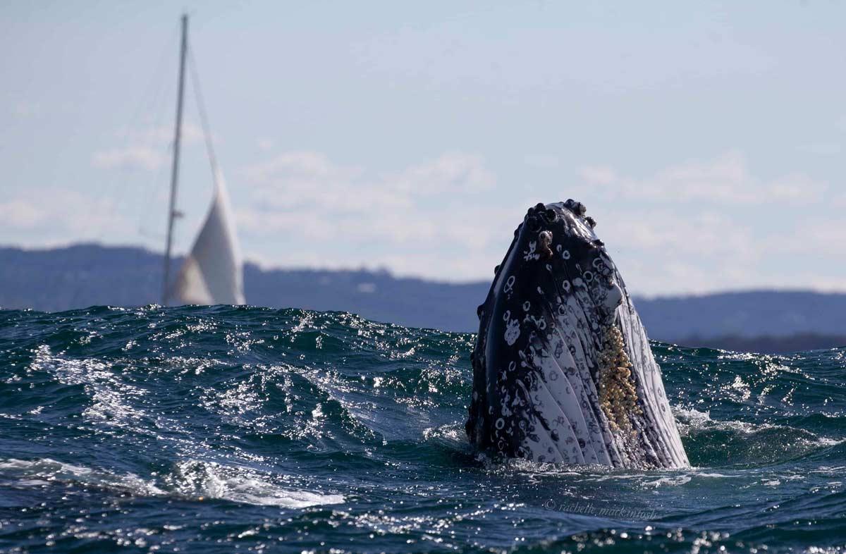 humpback whale yacht manly beach australia