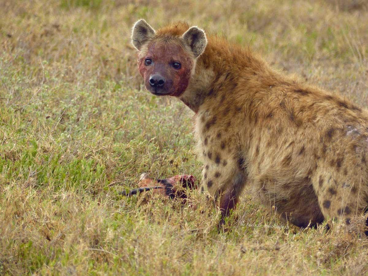 hyena serengeti tanzania