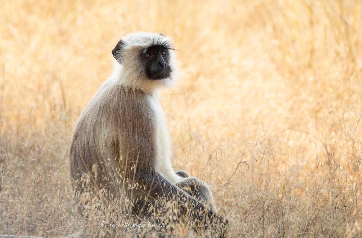 langur monkey bandhavgarh india