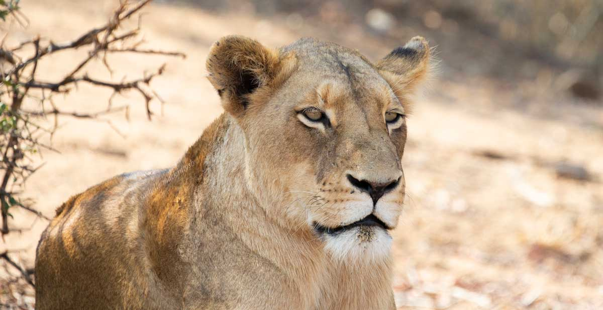 lioness kapama greater kruger south africa