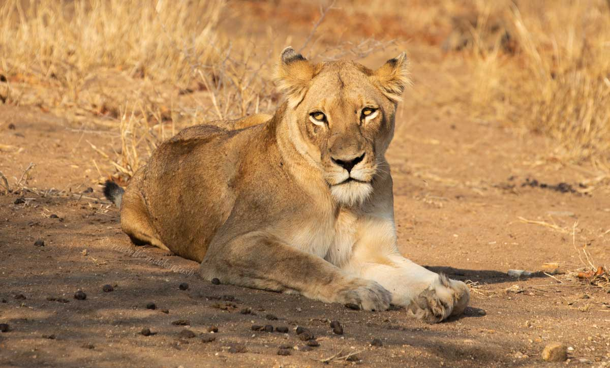 lioness south africa kapama reserve
