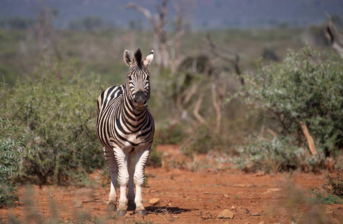 madikwe reserve south africa zebra calf