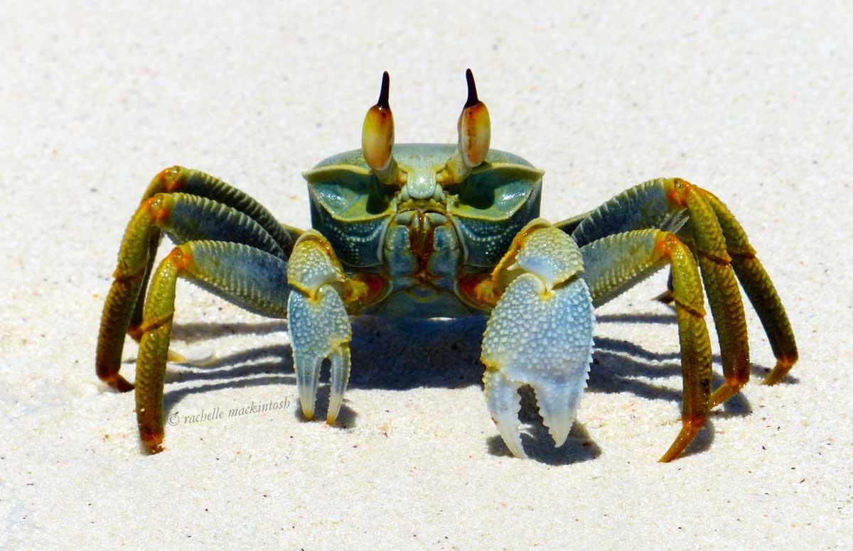 maldives beach crab