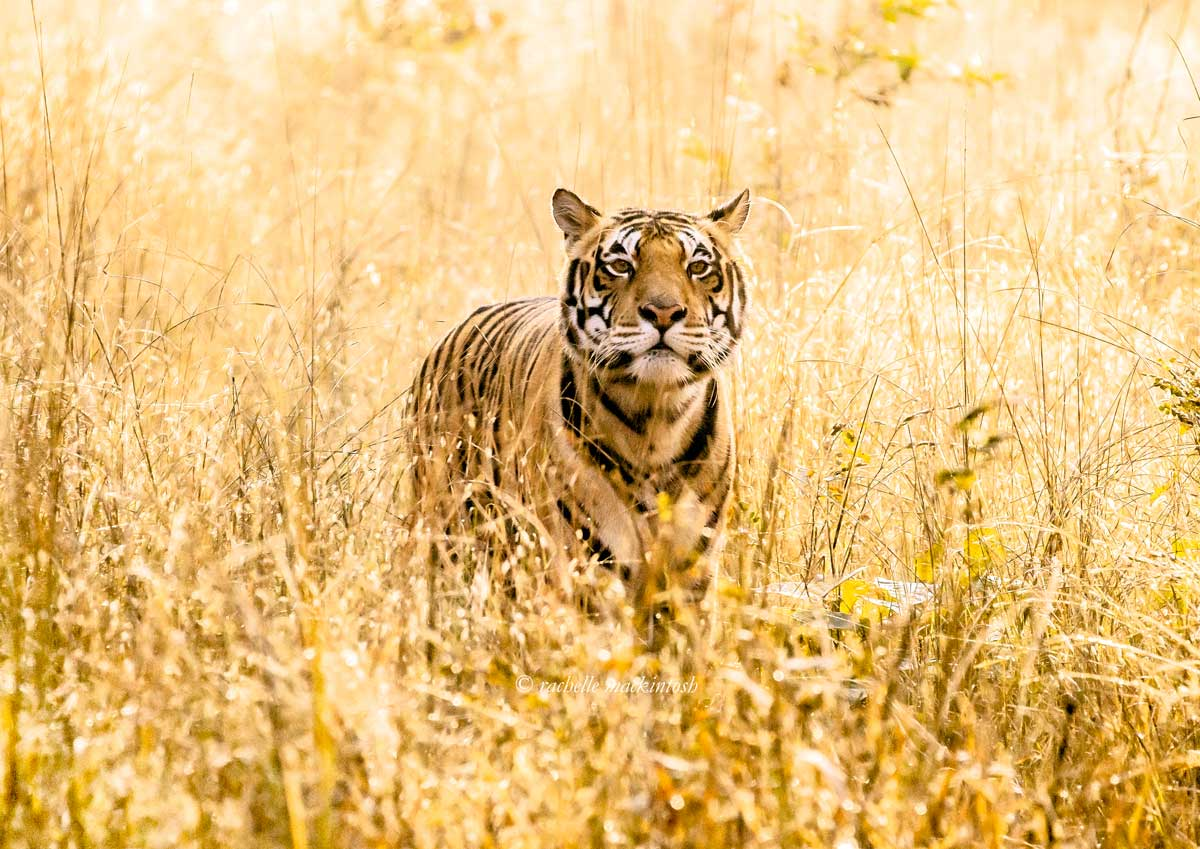 male tiger kanha national park india copy