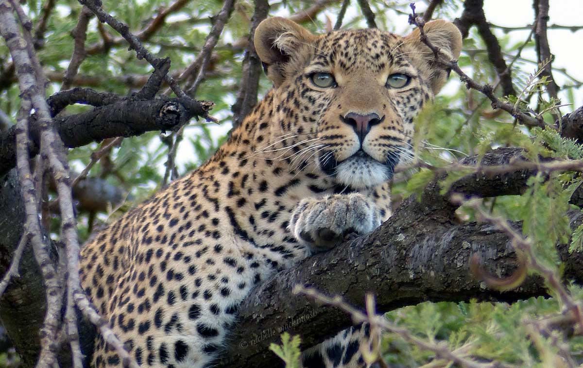 masai mara leopard tree