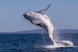 merimbula baby whale australia