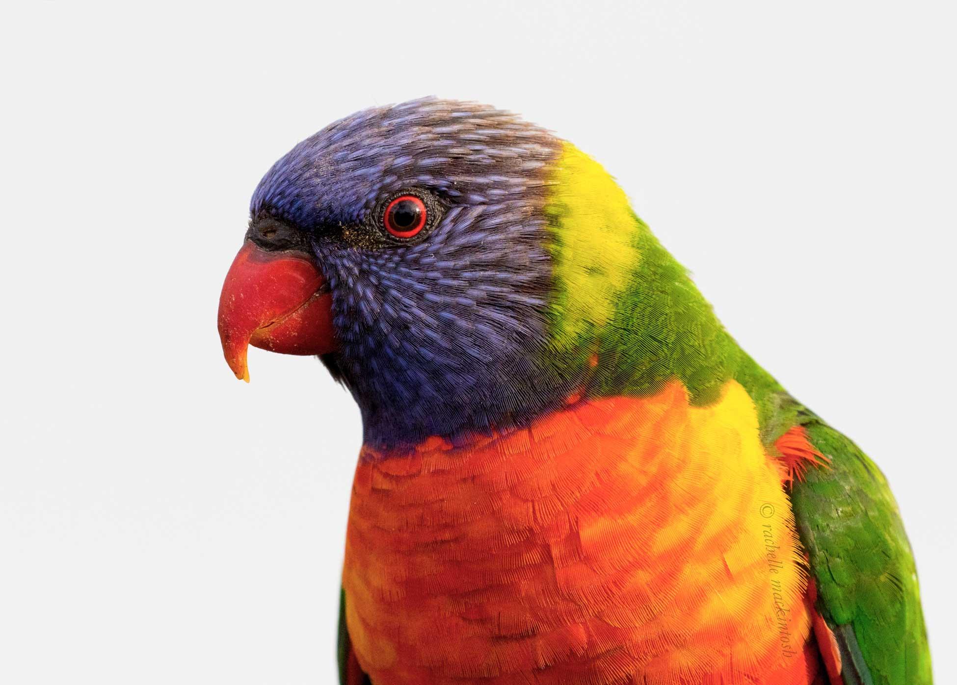 rainbow lorikeet sydney