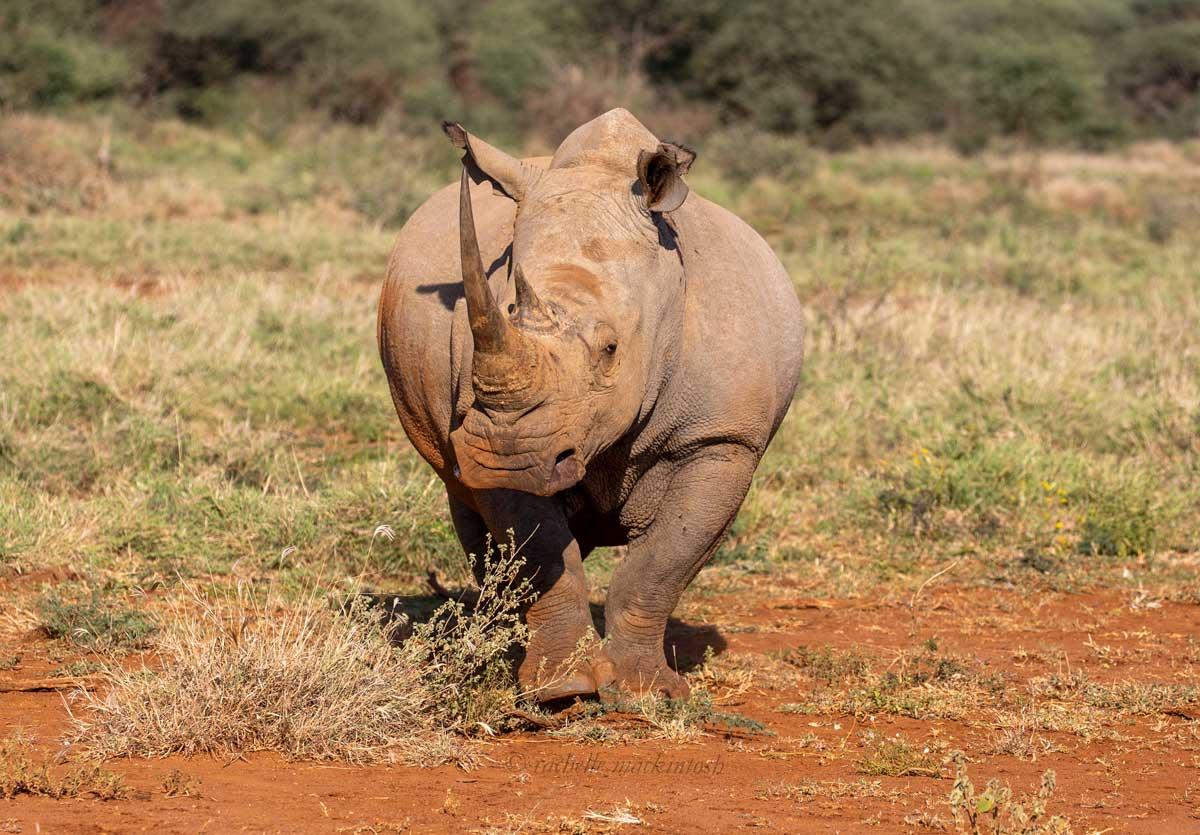 south africa white rhinoceros madikwe