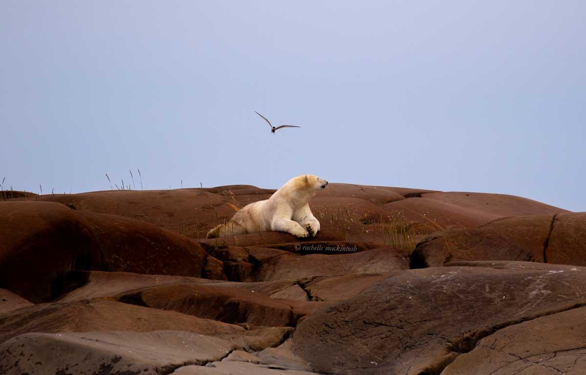 summer polar bear hudson bay frontiers north canada