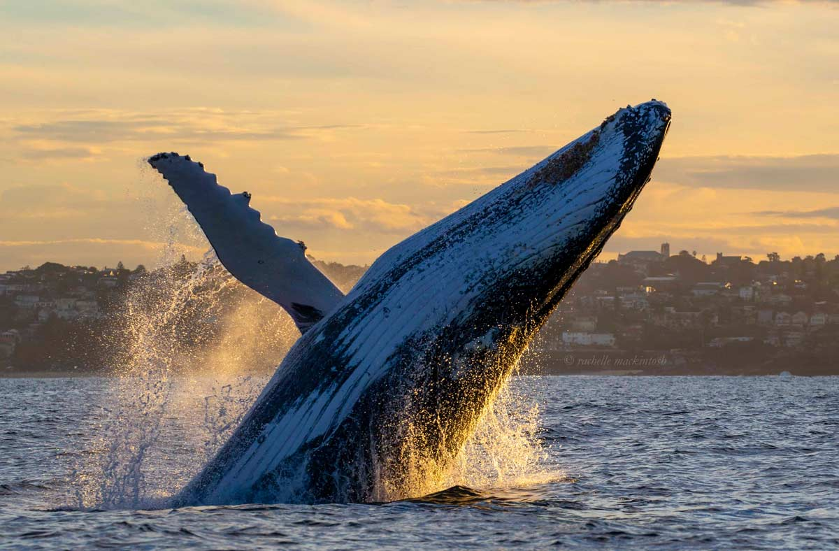 sunset humpback whale breaching bondi
