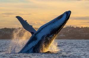 sunset humpback whale breaching bondi