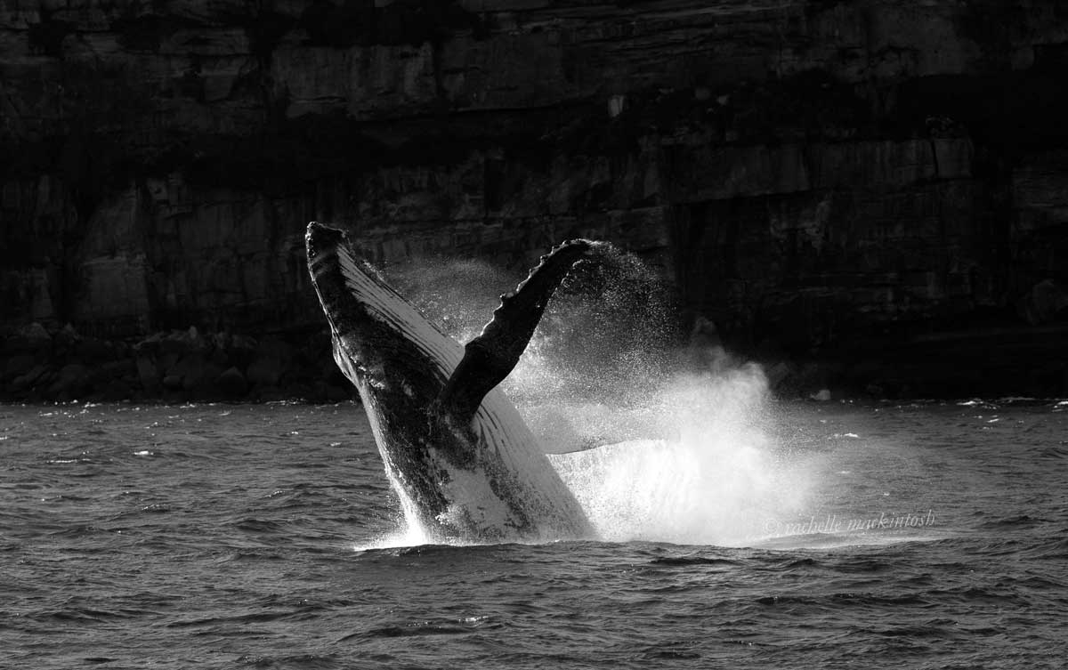sydney habour humpback whale breach black and white