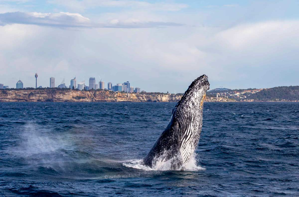 sydney harbour humpback whale city
