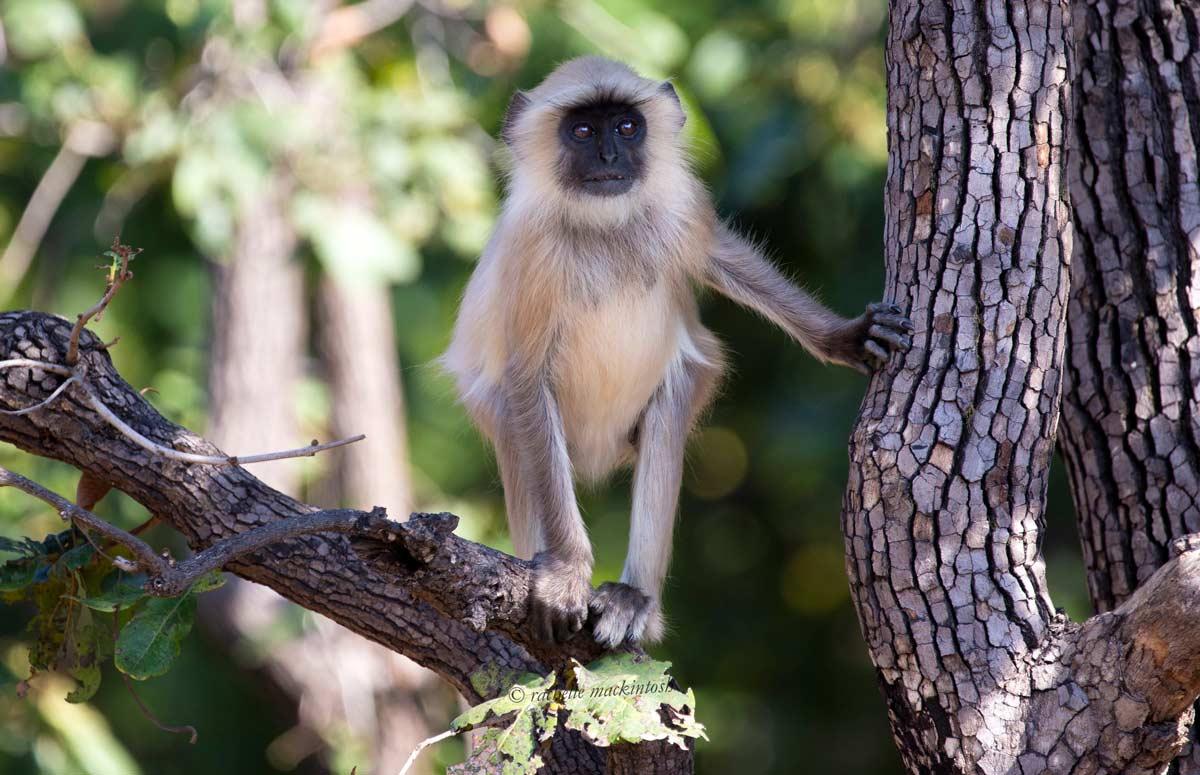 baby langur monkey jungle india