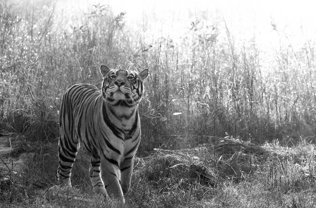 black and white tiger kanha india