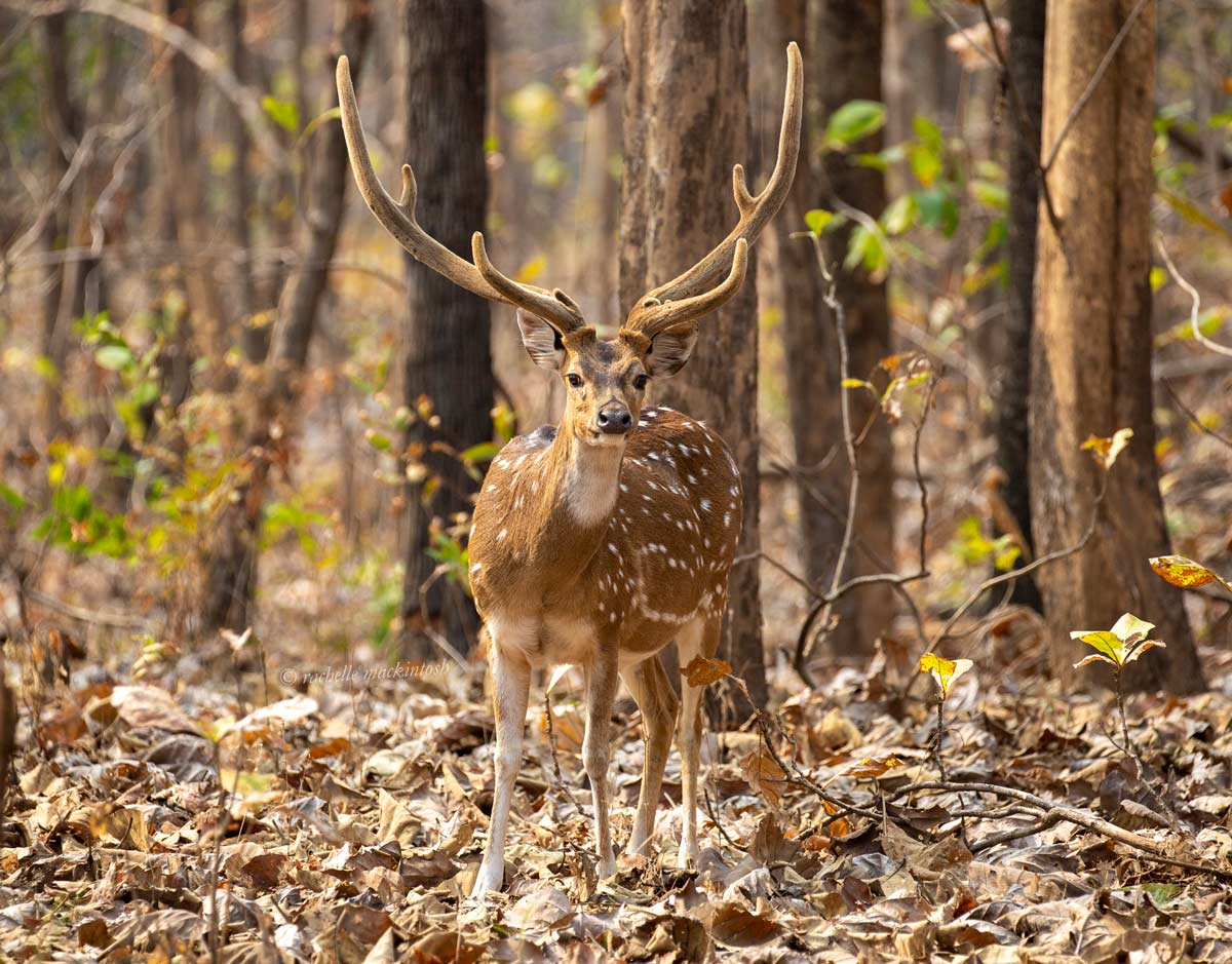 chital spotted deer pench national park india