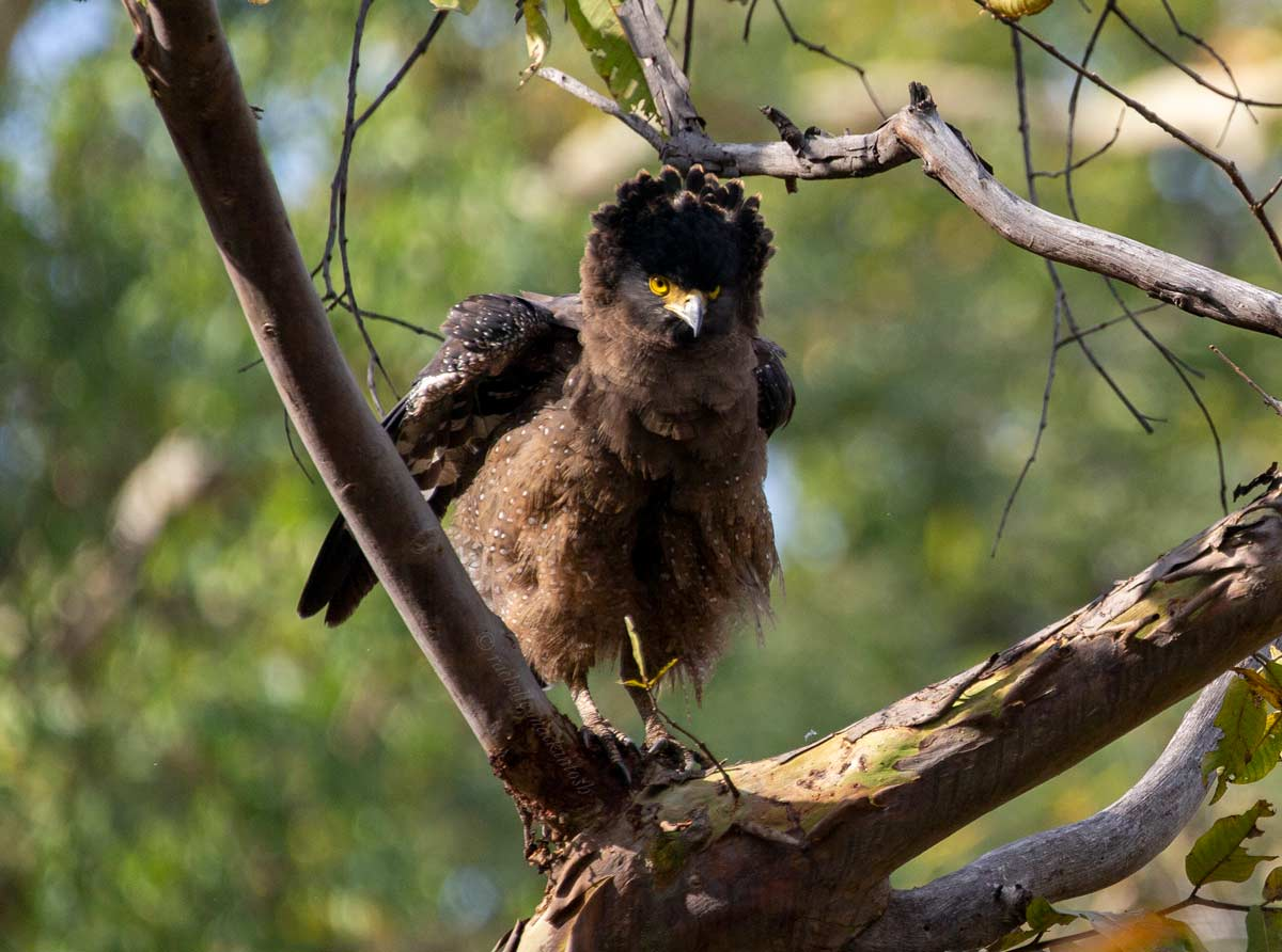 crested serpent eagle bandhavgarh india