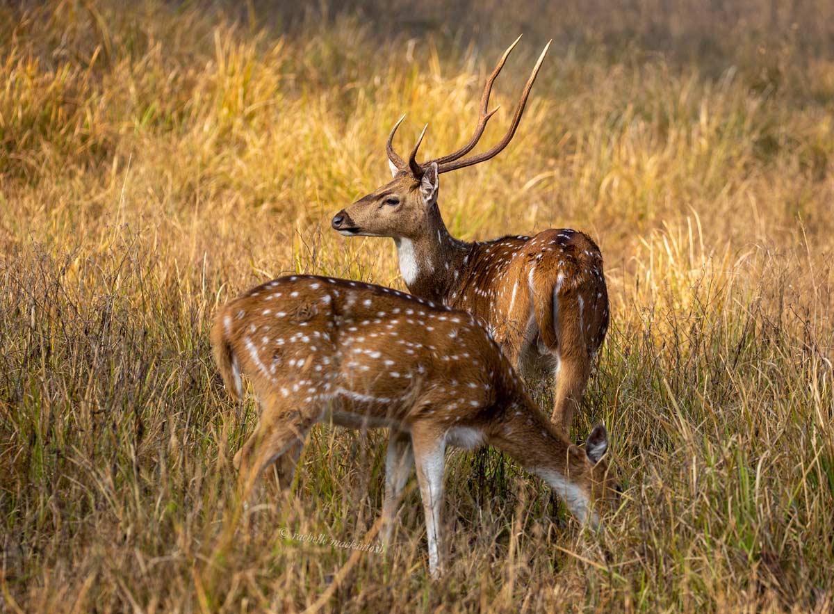 spotted deer chital bandhavgarh india