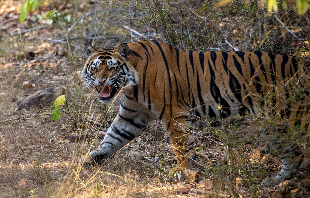 tiger juvenile bandhavgarh angry