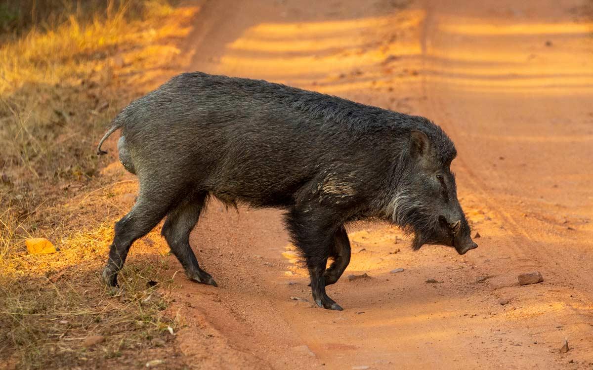 wild boar pench nagpur india